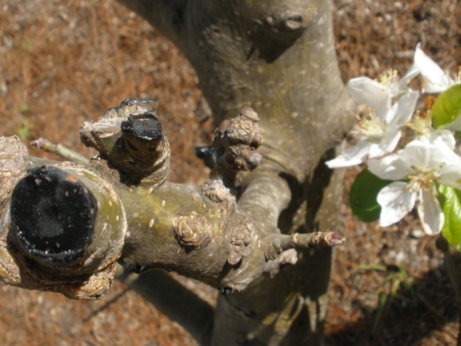 how to get rid of aphids on fruit trees