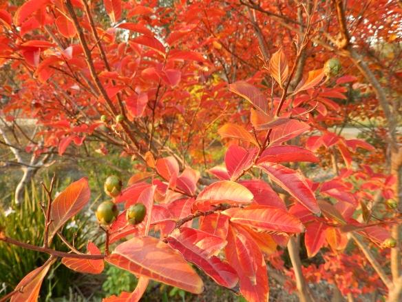autumn crepe myrtle