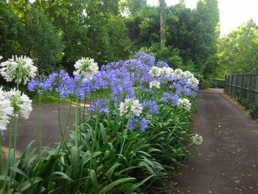 Naughty Agapanthus Is An Invasive Plant But Was Commended In1967