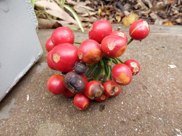 clivia seeds
