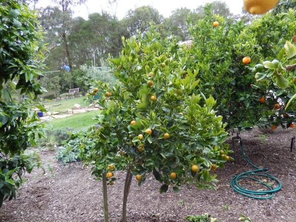 cumquat tree