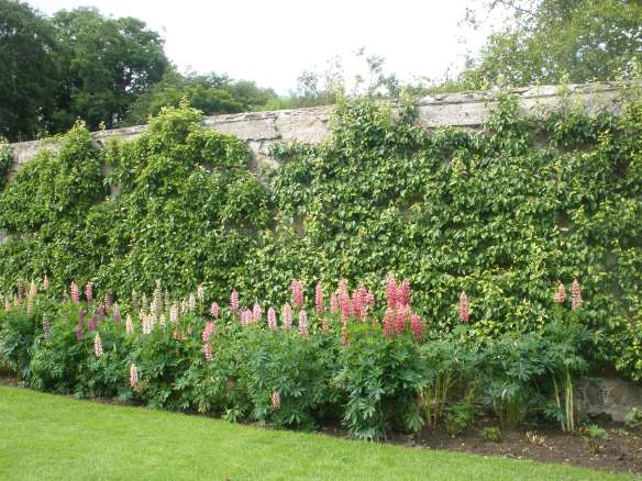 espaliered trees and lupins
