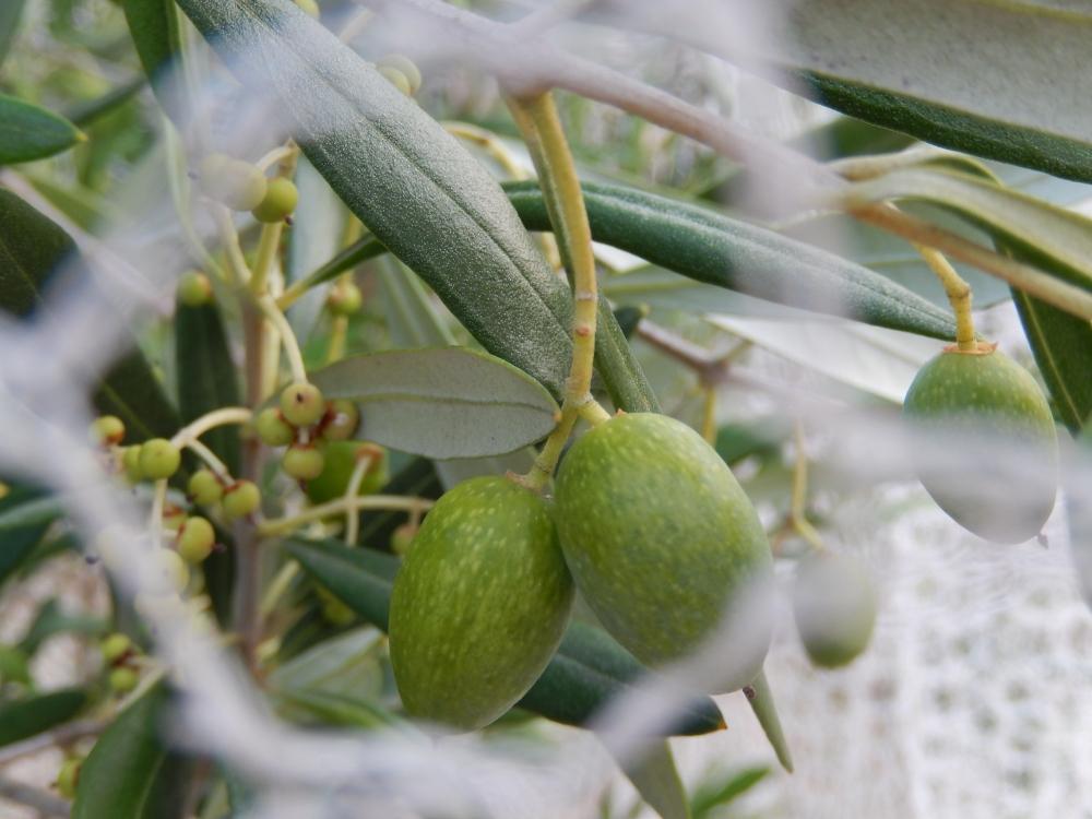 olives behind net