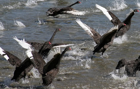 blackSwans1