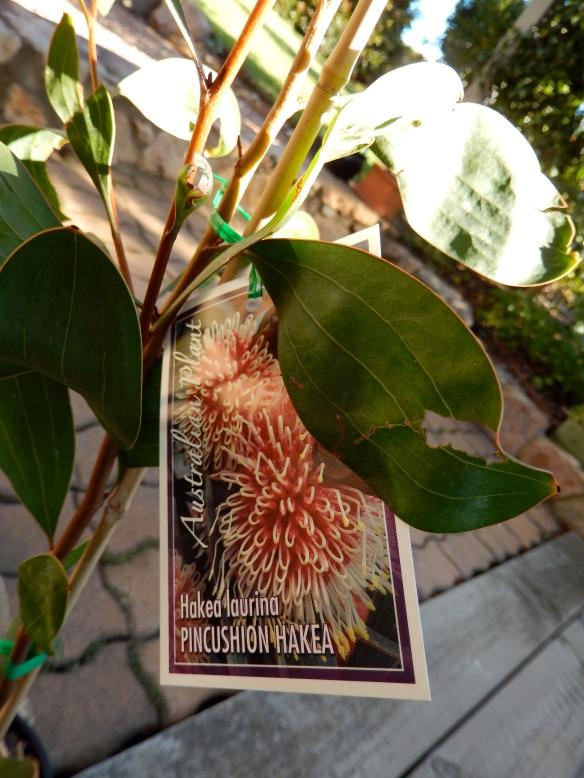 hakea plant