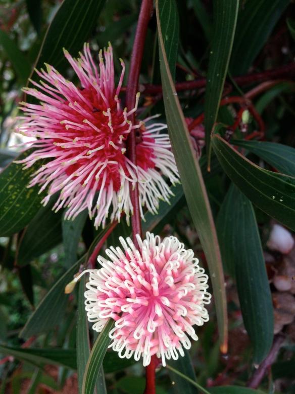 hakea blooms