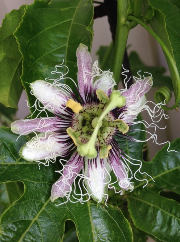 passionfruit flower