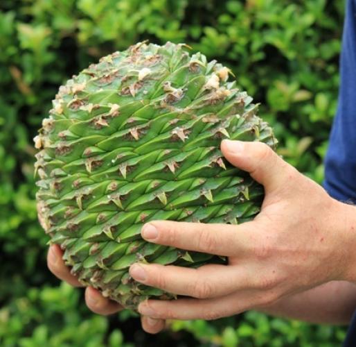 bunyah pine cone