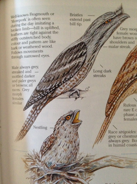 frogmouth image